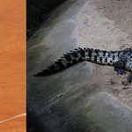 nadal-crocodile20130609